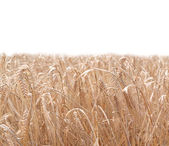 Vete fält — Stockfoto