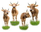 Cow collection — Stock Photo