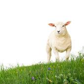овцы изолированы — Стоковое фото