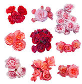 Rose collection, — Stock Photo