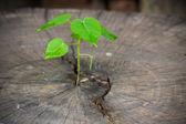 Green tree on wood background — Stock Photo