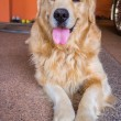 Dog golden retriever — Stock Photo #38754633