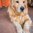 Dog golden retriever — Stock Photo #38754743