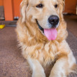 Dog golden retriever — Stock Photo #38754939