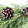 图库照片: Pine branch with cones on white background