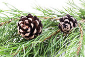 Pine branch with cones on white background — Stock Photo