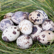 Dappled quail eggs in  green-yellow grass nest — Foto Stock