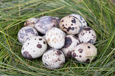 Dappled quail eggs in green-yellow grass nest — Stock Photo