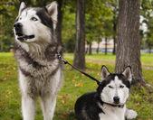 Cães husky fora — Foto Stock