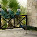 Few peacocks near building walking — Stock Photo #43676649