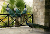 Few peacocks near building walking — Foto Stock