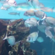 Silver big fish in aquarium — Stock Video #36715315