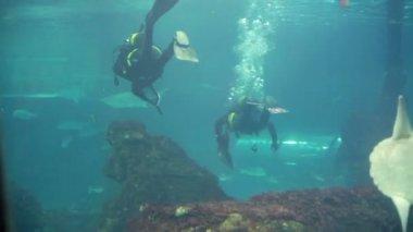 Scuba divers in shark tank — Stock Video