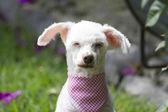 French poodle sleepyhead III — Stock Photo
