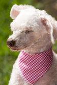 French poodle sleepyhead — Stock Photo