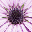 Stock Photo: Macro to daisy purple flower