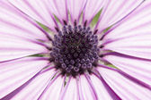 Macro to a daisy purple flower — Stock Photo