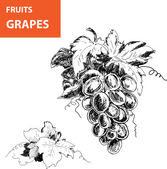 Hand drawn illustrations of grapes — Stock Vector