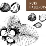 Hazelnuts — Stock Vector #40871261