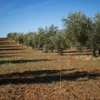 Plantation Olive Trees — Stock Photo #37497315