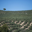 Plantation Olive Trees — Stock Photo #37498349