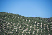 Plantation Olive Trees — Foto Stock