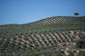 Plantation Olive Trees — Foto de Stock