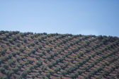 Plantation Olive Trees — Stock Photo