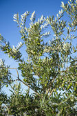 Olives on olive tree in autumn. Season nature image — Stock Photo