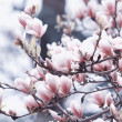 Beautiful magnolia flowers — Stock Photo