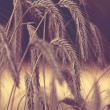Grain field — Stock Photo #37759921