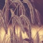 Grain field — Stock Photo #37759921