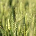 Grain field — Stock Photo #37762499