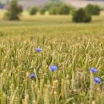 Grain field — Stock Photo #37762635