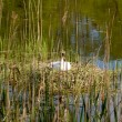 Swan in his nest — Stock Photo #37766383