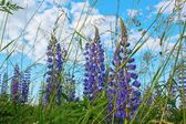 Wild lupines — Stock Photo