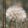 Dandelion flower — Stock Photo #37778905
