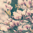 Stock Photo: Beautiful magnolia flowers
