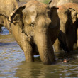 Elephant bathing — Stock fotografie #37679361