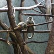 Stock Photo: Squirrel monkeys