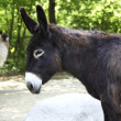 Donkey — Stock Photo #38061569