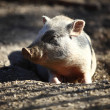 Stock Photo: Bentheim pig outdoor