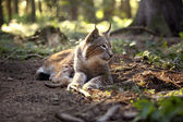 Lynx in the forest — Stock Photo