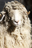 Ram with curly hair — Foto Stock