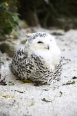 Snow owl — Stock Photo