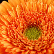Gerbera — Stock Photo