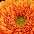 Gerbera — Stock Photo #38559227