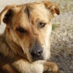 Attentive German Shepherd Dog — Stock Photo #40249159