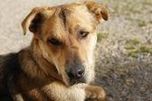 Attentive German Shepherd Dog — Stock Photo