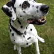 Stock Photo: Face of Dalmatidog